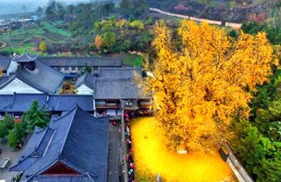 李世民在终南山栽了棵银杏树 美了1400年