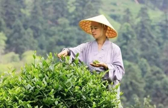 """九华山的茶为何叫""""佛茶""""?背后竟有这样的因缘"""