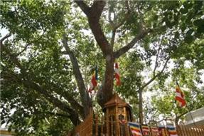 """斯里兰卡圣菩提树——维系佛祖渊源的""""唯一血脉""""!"""