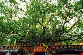 朝礼全世界最古老的菩提树—蝉友圈朝圣游学