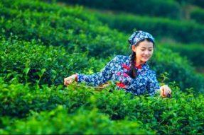 雅安世界茶源,茶马古道之旅,中国千年禅茶文化